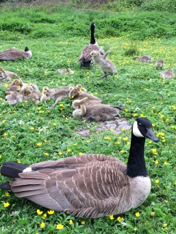 Canadian Geese and their goslings