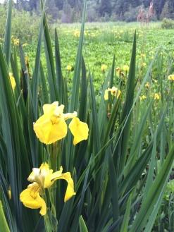 Flora at Beaver Lake in Stanley Park