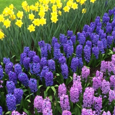 Daffodils and hyacinths