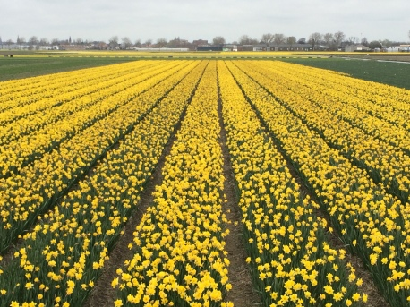 Flower field in Lisse