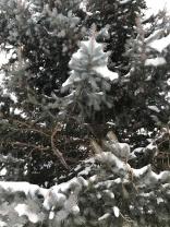 Snow kissed trees